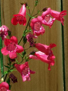 Penstemon Care And Maintenance – How To Grow Beard Tongue Plants Penstemon is one of our more spectacular native plants. Learn how to grow beard tongue plants and you will have the birds, bees and butterflies doing summersaults in your garden. Click here for more info.