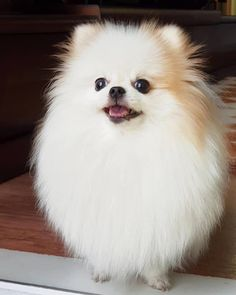 More On Pomeranian Puppy Panda Spitz Pomeranian, Cute Pomeranian, Pomeranians, Fluffy Animals, Cute Baby Animals, Cute Dogs Breeds, Dog Breeds, Cute Animal Pictures, Dog Pictures