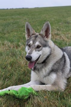 Dog, Wolf Dog, Dog, Close, Tongue #dog, #wolfdog, #dog, #close, #tongue