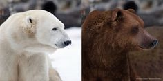 """Képtalálat a következőre: """"polar bear vs bear"""""""