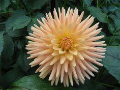 "'Embrace' 4-6"" semi cactus.  Most awarded variety by Colorado Dahlia Society"