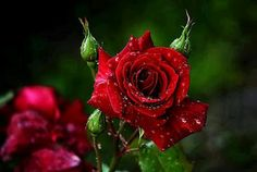 Beautiful red roses :-) little girls, god, hands, favorit flower, red roses, morning dew, beauty, flowers, heavens