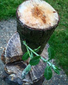 Found this piece of Willow that I had accidentally left out in the garden for the past three months it's safe to say it's still green and ok to carve   #bushcraft #outdoors #photooftheday #survival #woods #woodland #forest #wilderness #nature #handmade #edc #camping #hiking #backpacking #life #yolo #instagram #wild #wildcraft #wildcamp #crafts #woodwork #sloyd #kuksa #spoon #spooncarving #carving #knives by zedoutdoors