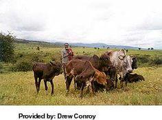 Breeds of Livestock - Masai Cattle