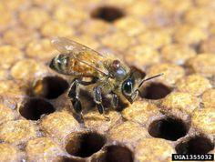 http://wangiwriter.files.wordpress.com/2012/03/varroa-mite-on-bee.jpg