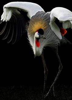 Grey Crowned Crane ...