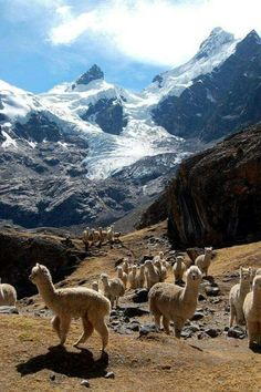 Alpacas in the Andes mountains