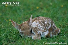 Fallow Deer | Fallow deer (Dama dama)