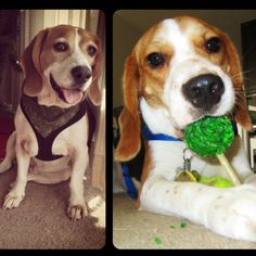 The two most different personalities but both unique beagles in their own way.