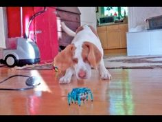 Stop What You're Doing and Make Your Day Better by Watching This Dog Play With a Robot Crab - Maymo the Lemon Beagle