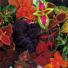 Giant Exhibition Coleus mix