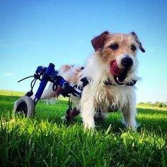 Walkin' Pets dog wheelchairs are fully adjustable with the push of a button, making life easier for you and your pet. If your dog has weak hind legs or is unable to walk, you have come to the right place. Dog Wheelchair, Photographer Wanted, Support Dog, Making Life Easier, Four Legged, Beautiful Dogs, Adorable Animals, Pet Care, Animals And Pets