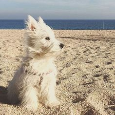 Check the link in @westiemoments profile and choose your Westie or hoodie! International shipping! To be reposted⏩Start to follow us⏩Choose your best photo⏩Tag us #westiemoments Reposted from: @bronx_westie