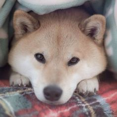 shiba inu Photo by marutaro Chien Shiba Inu, Cute Puppies, Cute Dogs, Funny Animals, Cute Animals, Hachiko, Japanese Dogs, Mundo Animal, Dog Cat