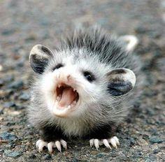 Baby Possum. Cutest. Thing. Ever.