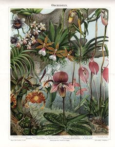 1893 Antique Botanical Print ORCHIDS Lithograph German Double Page Natural History Vintage Flower Home Decor on Etsy, $27.50