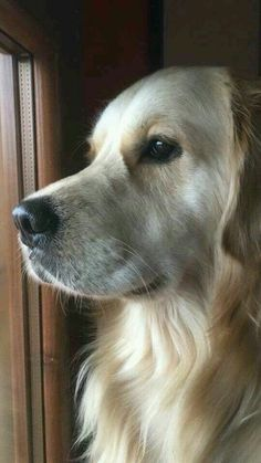 It's a Golden Retriever Thing! We understand that your golden retriever is a member of your family. Perros Golden Retriever, Chien Golden Retriever, Beautiful Dogs, Animals Beautiful, Cute Animals, Cute Dogs And Puppies, I Love Dogs, Doggies, Retriever Puppy