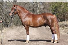Finnhorse - stallion Corleone
