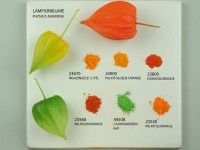 Chinese lantern plant and Pigments - Kremer Pigmente GmbH & Co. (pictures were taken by Monika Titelius in 2008)