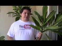 Plumeria: Propagation - YouTube