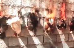Lyon : des poulets brûlés vifs pour une expo d'art, les défenseurs des animaux en colère