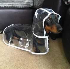 A Patient Dachshund Models a Custom Made Transparent Raincoat ♥
