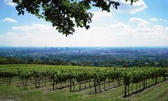 "Vienna has the biggest urban vineyard worldwide! White wine is produced by roughly 80 %, red wine by 20 %. Go for a meal to a ""Heuriger"" (typical Austria restaurant) and enjoy a bottle of wine © (picture: http://www.wien.gv.at/rk/2009/0602/009.htm) #feelaustria"