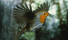 Photo by Helmut Heintges Paul Adrian: Robin in Flight Let's imagine for a second that the robin is not a contained entity moving at speed through space, but that it is a living change, ... the thought of the thought of a robin in flight.
