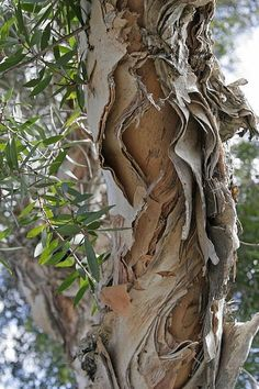 Peeling, peeling to reveal the heart of the tree.  Her personality is open and inviting. Dame Nature, Old Trees, Unique Trees, Nature Tree, Tree Forest, Tree Leaves, Tree Bark, Tea Tree, Amazing Nature