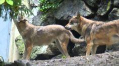 i lupi di Innsbruk