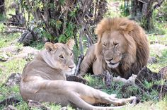 Perspectives_Stick_Alyce_Lion Couple Tanzania 2