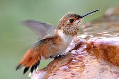 A hummingbird fountain or hummingbird bird bath can attract these birds with water for drinking and bathing. These tips can help! Humming Bird Bath, Hummingbird Bird Bath, Hummingbird Plants, Humming Bird Feeders, Humming Birds, Hummingbird Pictures, Hummingbird Habitat, Hummingbird Migration, Hummingbird Tattoo