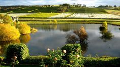 Josef Chromy vineyard in Tasmania.