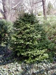 Taxus cuspidata- Japanese yew Zone: 4 to 7 Height: 10 to 25 feet Spread: 5 to 10 feet Sun: Full sun to part shade Water: Medium Leaf: Evergreen Tolerate: Rabbit, Drought, Heavy Shade