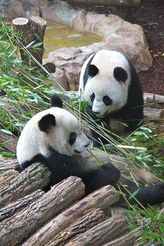 Pandas Huan Huan & Yuan Zi @ ZooParc de Beauval