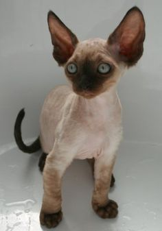 devon rex I want him! I Love Cats, Crazy Cats, Cute Cats, Devon Rex Kittens, Cats And Kittens, Pretty Cats, Beautiful Cats, Cornish Rex Cat, Photo Chat