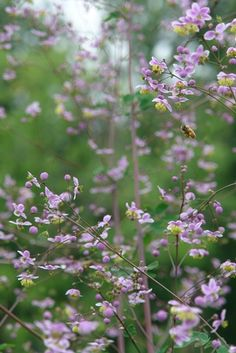 Thalictrum rochebrunianum (Giant meadow-rue or lavender mist) - Perennial - Zones 4-8, Height 4-6 ft. This big, bodacious, clump-forming plant has lots of appeal for gardeners and pollinators alike. Deep wine-purple stems are topped with broad umbels, of bright, lavender clusters accented by yellow stamens in July and August.