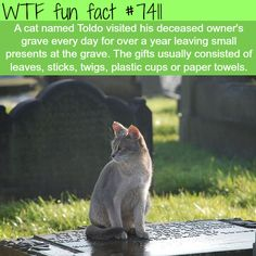 Toldo the cat visited it's deceased owner's grave everyday… - FACTS