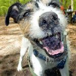 Is a Jack Russell Terrier the Right Dog for you?