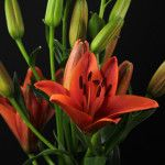 Red Sensation Asian Lilies, Lily, Plants, Red, Orchids, Flora, Plant, Lilies