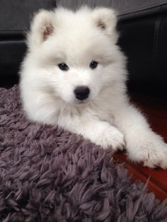 Check out more Adorable Samoyed Dog Photos Cute Fluffy Dogs, Cute Baby Dogs, Cute Dogs And Puppies, Boxer Puppies, Labradoodle Puppies, Cute Little Animals, Cute Funny Animals, Cute Cats, Funny Dogs