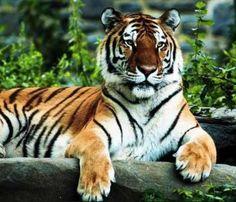 India Royal Bengal Tiger