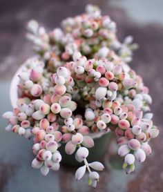 Houseplants That Filter the Air We Breathe Silvia Patricia Balaguer Succulent Gardening, Cacti And Succulents, Planting Succulents, Planting Flowers, Organic Gardening, Flowering Succulents, Pink Succulent, Air Plants, Flower Shops