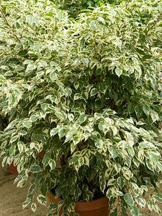 'Starlight' weeping fig ~ Ficus benjamina 'Starlight' has the same arching plant form as regular weeping fig, but its leaves are ringed with a decorative white band. Variegation is most intense in bright light.