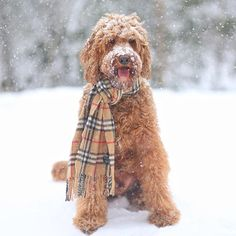 """""""Friends are like snowflakes, if you pee on them they disappear 😜"""" writes @oliverthegoldendoodle. #dogsofinstagram #cats #dogs #followback"""