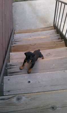 The Doberman Pinscher is among the most popular breed of dogs in the world. Known for its intelligence and loyalty, the Pinscher is both a police- favorite Black Doberman, Doberman Love, Cute Puppies, Cute Dogs, Dogs And Puppies, Doggies, European Doberman, Doberman Pinscher Puppy, Doberman Puppies