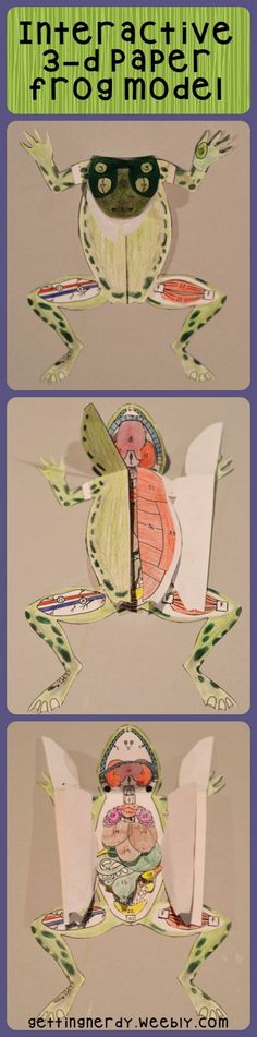 A 3-d paper grass frog model is perfect for secondary students. Use it for dissection preparation and/or anatomy studies. https://www.teacherspayteachers.com/Product/Frog-Dissection-Interactive-Science-Notebook-Frog-Anatomy-Paper-Model-1138355?utm_content=bufferb1de5&utm_medium=social&utm_source=pinterest.com&utm_campaign=buffer