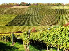 071015 Weinberge in Franken - Franconian vineyards near Würzburg - Pfülben by axel-d