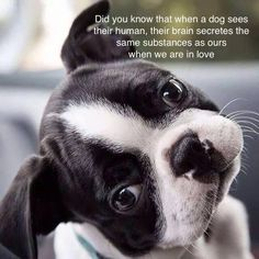 The Boston Terrier is a dog breed that has a great sense of humor. Here are some of the funniest pictures of Boston Terrier dogs! Cute Puppies, Dogs And Puppies, Cute Dogs, Doggies, Bulldog Puppies, I Love Dogs, Puppy Love, Baby Animals, Cute Animals