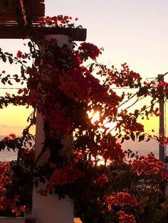 La bouganville all'alba